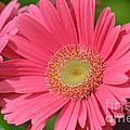 Beautiful Pink Gerber Daisies by Maria Urso