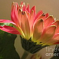 Beautiful Pink Gerbera Daisy 2 by Tara  Shalton