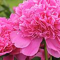 Beautiful Pink Peony Albert Crousse Paeonia Lactifora Albert Cro by Marianne Campolongo