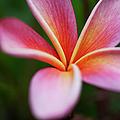 Beautiful Pink Plumeria Blossom by Charmian Vistaunet