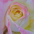 Beautiful Pink Rose Closeup  by Taiche Acrylic Art