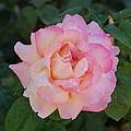 Beautiful Pink Rose by Linda Brody
