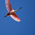 Beautiful Pink Roseate Spoonbill by Sabrina L Ryan