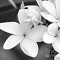 Beautiful Plumeria In Black And White by Sabrina L Ryan