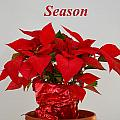 Beautiful Poinsettia Plant - No 2 by Mary Deal