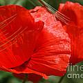 Beautiful Poppies 10 by Carol Lynch