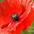 Beautiful Poppies 6 by Carol Lynch