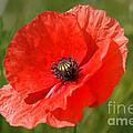 Beautiful Poppies 7 by Carol Lynch