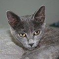 Beautiful Portait Of A Grey Russian Tabby Cat by Tracey Harrington-Simpson