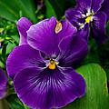 Beautiful Purple Pansies by Eti Reid