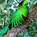 Beautiful Quetzal 2 by Heiko Koehrer-Wagner
