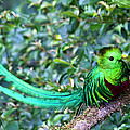 Beautiful Quetzal 3 by Heiko Koehrer-Wagner