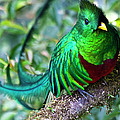 Beautiful Quetzal 4 by Heiko Koehrer-Wagner