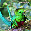 Beautiful Quetzal 5 by Heiko Koehrer-Wagner