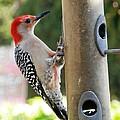 Beautiful Red Belly Woodpecker Jr by Belinda Lee