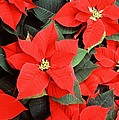 Beautiful Red Poinsettia Christmas Flowers by Taiche Acrylic Art