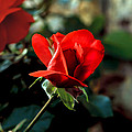 Beautiful Red Rose Bud by Robert Bales