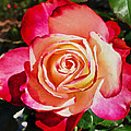 Beautiful Red Rose by Joan Reese