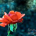 Beautiful Red Rose by Robert Bales