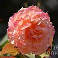 Beautiful Rose Blossom by DejaVu Designs