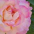 Beautiful Rose by Linda Brody
