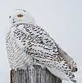 Beautiful Snowy Owl by Cheryl Baxter
