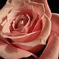 Beautiful Peach Rose by Tara  Shalton