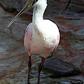 Beautiful Spoonbill  by Christiane Schulze Art And Photography