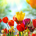 Beautiful Spring Tulips by Boon Mee