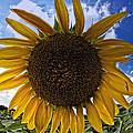 Beautiful Sunflower by Alice Gipson