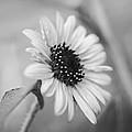Beautiful Sunflower In Monocrome by Vishwanath Bhat