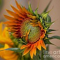 Beautiful Sunflower by John  Kolenberg