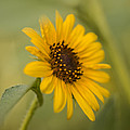 Beautiful Sunflower by Vishwanath Bhat
