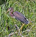 Beautiful Tricolored Heron by Carol  Bradley