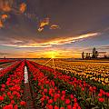 Beautiful Tulip Field Sunset by Mike Reid