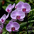 Beautiful Violet Purple Orchid Flowers by Imran Ahmed