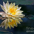 Beautiful Water Lily Reflection by Sabrina L Ryan