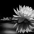 Beautiful Water Lily Reflections by Sabrina L Ryan