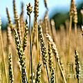 Beautiful Wheat by Cheryl Baxter