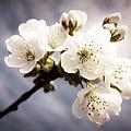 Beautiful White Blossoms by Matthias Hauser