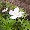 Beautiful Wild Geranium by Cynthia Woods