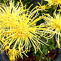 Beautiful Yellow Flower by Joan Reese