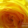 Yellow Rose Macro by Tara  Shalton