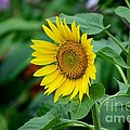 Beautiful Yellow Sunflower In Full Bloom by Imran Ahmed