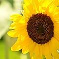 Beauty Beheld - Sunflower by Maria Urso
