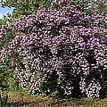 Beauty Bush (kolkwitzia Amabilis) by Science Photo Library