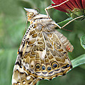 Beauty In Butterflies by David and Carol Kelly