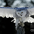 Beauty In Motion- Snowy Owl Landing by Inspired Nature Photography Fine Art Photography