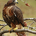 Beauty In Nature Red Tailed Hawk In The Spring  by Inspired Nature Photography Fine Art Photography