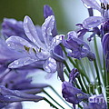 Beauty Lilies by Luv Photography